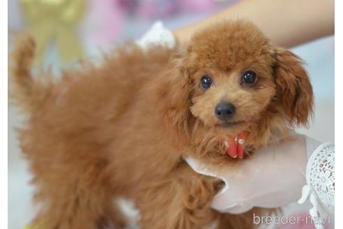 トイプードルの子犬(ID:1234911129)の2枚目の写真/更新日:2017-02-10