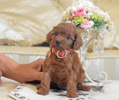 トイプードルの子犬(ID:1234911130)の1枚目の写真/更新日:2018-07-13