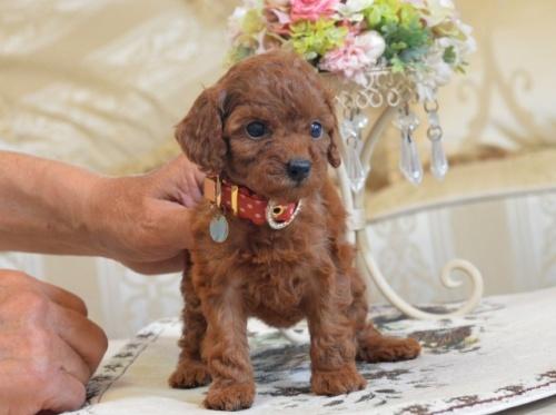 トイプードルの子犬(ID:1234911130)の2枚目の写真/更新日:2018-07-13