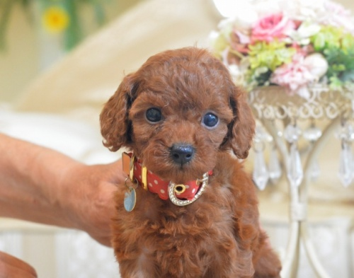 トイプードルの子犬(ID:1234911130)の3枚目の写真/更新日:2017-01-09