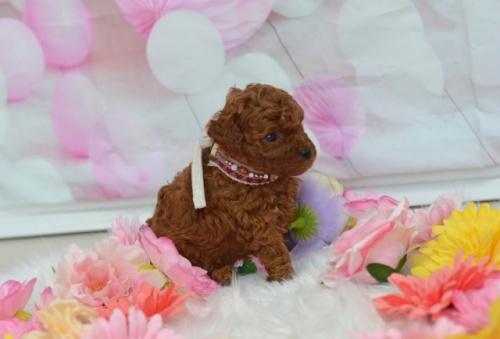 トイプードルの子犬(ID:1234911131)の3枚目の写真/更新日:2018-08-10