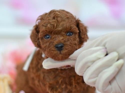 トイプードルの子犬(ID:1234911131)の4枚目の写真/更新日:2021-07-31