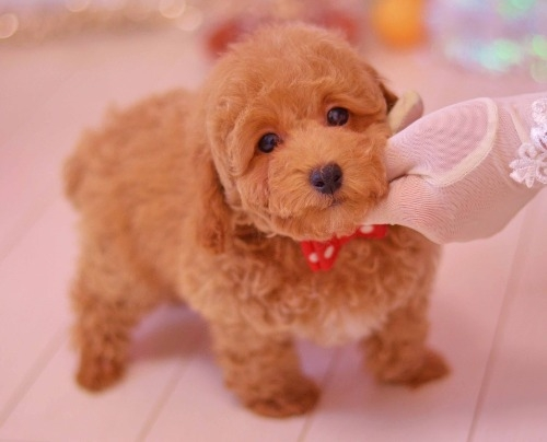 トイプードルの子犬(ID:1234911132)の1枚目の写真/更新日:2018-07-02