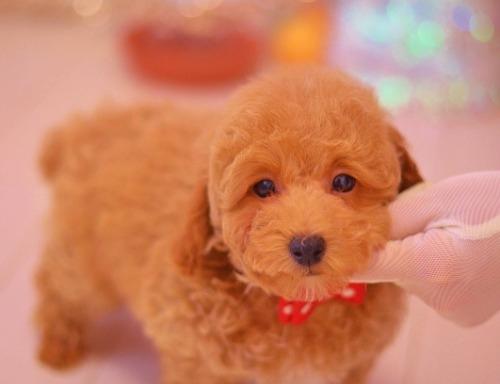 トイプードルの子犬(ID:1234911132)の2枚目の写真/更新日:2018-07-02