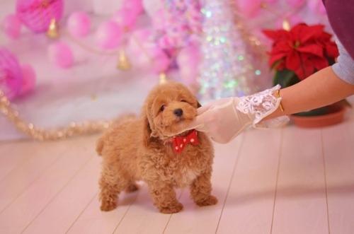 トイプードルの子犬(ID:1234911132)の3枚目の写真/更新日:2017-02-26