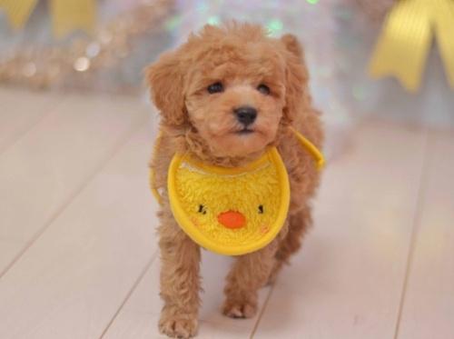 トイプードルの子犬(ID:1234911133)の1枚目の写真/更新日:2020-01-20