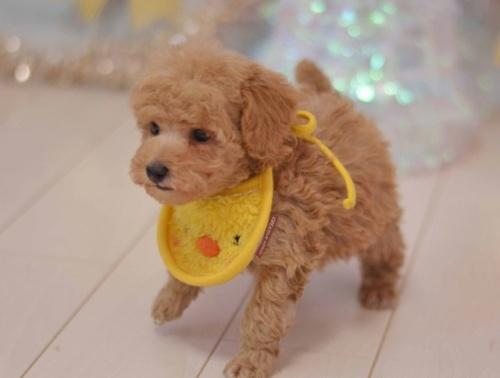 トイプードルの子犬(ID:1234911133)の2枚目の写真/更新日:2017-03-13