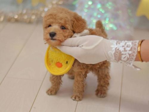 トイプードルの子犬(ID:1234911133)の3枚目の写真/更新日:2020-01-20