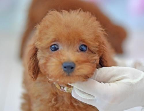トイプードルの子犬(ID:1234911134)の1枚目の写真/更新日:2017-04-12