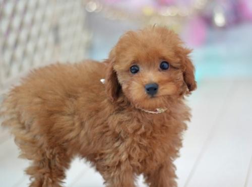 トイプードルの子犬(ID:1234911134)の2枚目の写真/更新日:2017-04-12