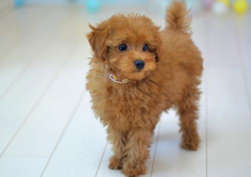 トイプードルの子犬(ID:1234911134)の3枚目の写真/更新日:2017-03-21