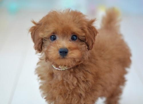 トイプードルの子犬(ID:1234911134)の4枚目の写真/更新日:2017-04-12