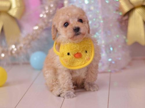トイプードルの子犬(ID:1234911135)の1枚目の写真/更新日:2018-08-09