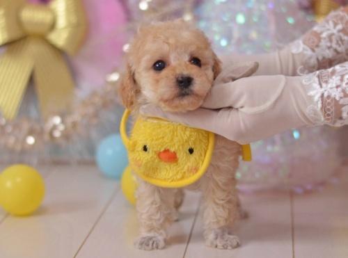 トイプードルの子犬(ID:1234911135)の2枚目の写真/更新日:2018-08-09