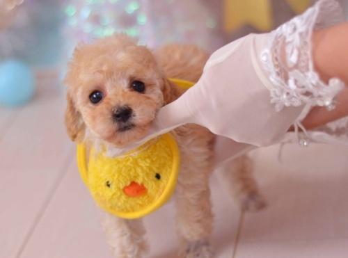 トイプードルの子犬(ID:1234911135)の3枚目の写真/更新日:2018-08-09