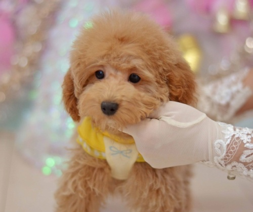 トイプードルの子犬(ID:1234911136)の1枚目の写真/更新日:2017-03-02