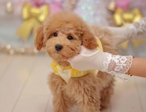 トイプードルの子犬(ID:1234911136)の2枚目の写真/更新日:2020-01-20