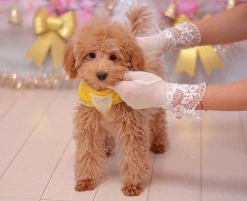 トイプードルの子犬(ID:1234911136)の3枚目の写真/更新日:2020-01-20