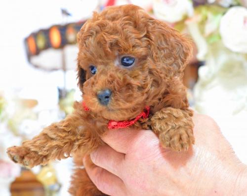 トイプードルの子犬(ID:1234911137)の1枚目の写真/更新日:2017-03-27