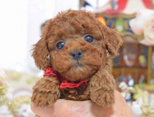 トイプードルの子犬(ID:1234911137)の3枚目の写真/更新日:2017-03-27