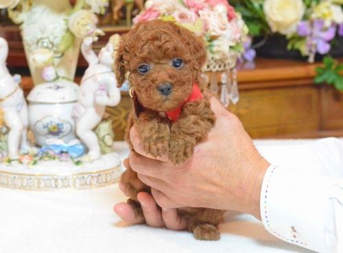トイプードルの子犬(ID:1234911137)の4枚目の写真/更新日:2017-03-27