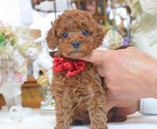 トイプードルの子犬(ID:1234911137)の5枚目の写真/更新日:2017-03-27