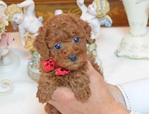トイプードルの子犬(ID:1234911137)の7枚目の写真/更新日:2017-03-27