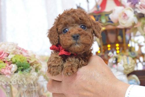 トイプードルの子犬(ID:1234911137)の8枚目の写真/更新日:2017-03-27