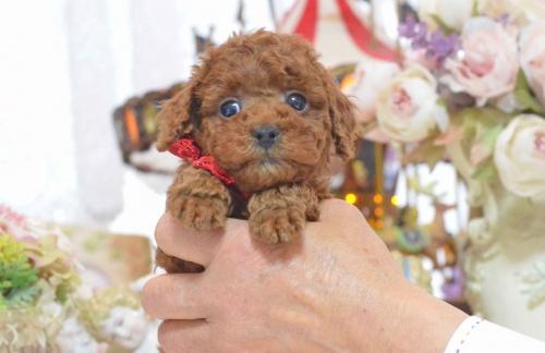 トイプードルの子犬(ID:1234911137)の9枚目の写真/更新日:2017-03-27