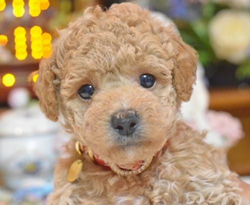 トイプードルの子犬(ID:1234911138)の2枚目の写真/更新日:2017-06-03