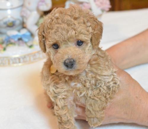 トイプードルの子犬(ID:1234911138)の3枚目の写真/更新日:2017-06-03