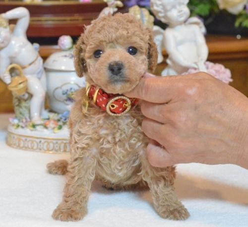 トイプードルの子犬(ID:1234911138)の5枚目の写真/更新日:2017-06-03