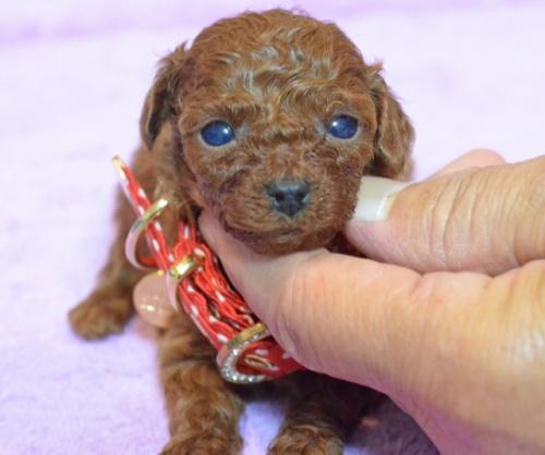 トイプードルの子犬(ID:1234911140)の1枚目の写真/更新日:2017-05-30