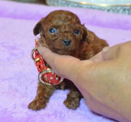 トイプードルの子犬(ID:1234911140)の2枚目の写真/更新日:2017-05-30
