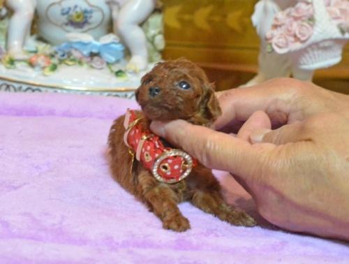 トイプードルの子犬(ID:1234911140)の3枚目の写真/更新日:2017-05-30