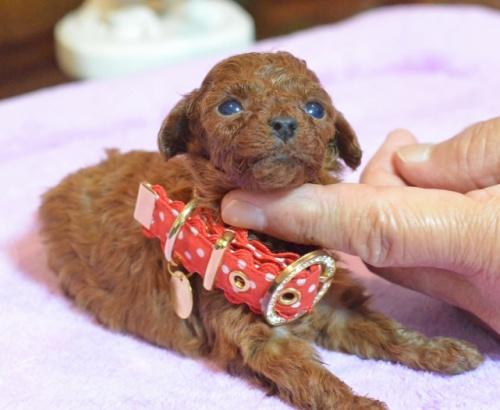 トイプードルの子犬(ID:1234911140)の5枚目の写真/更新日:2017-05-30