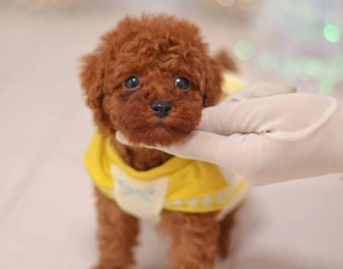 トイプードルの子犬(ID:1234911141)の1枚目の写真/更新日:2020-03-20