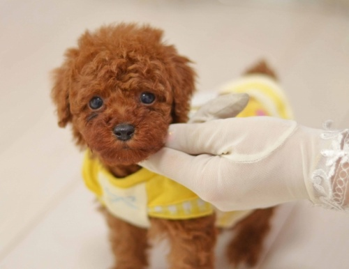 トイプードルの子犬(ID:1234911141)の2枚目の写真/更新日:2017-06-21