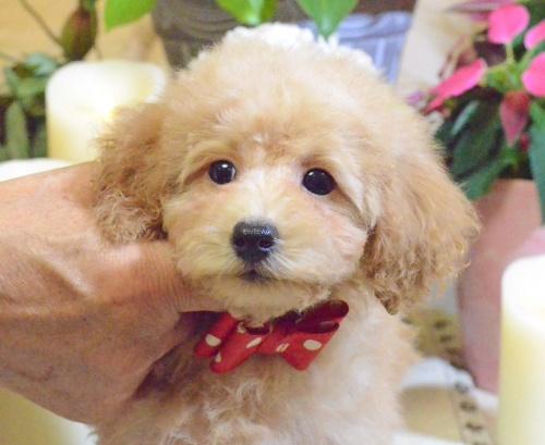 トイプードルの子犬(ID:1234911142)の1枚目の写真/更新日:2017-05-30