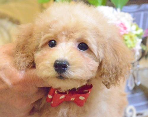 トイプードルの子犬(ID:1234911142)の2枚目の写真/更新日:2017-05-30