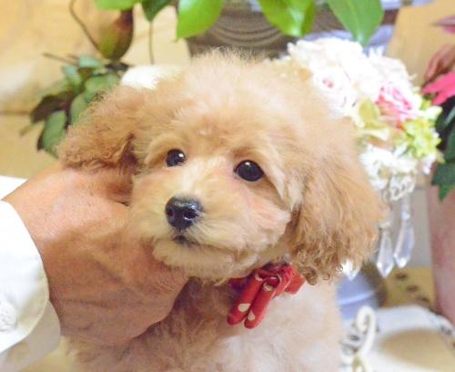 トイプードルの子犬(ID:1234911142)の3枚目の写真/更新日:2017-05-30
