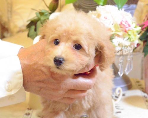トイプードルの子犬(ID:1234911142)の4枚目の写真/更新日:2017-05-30