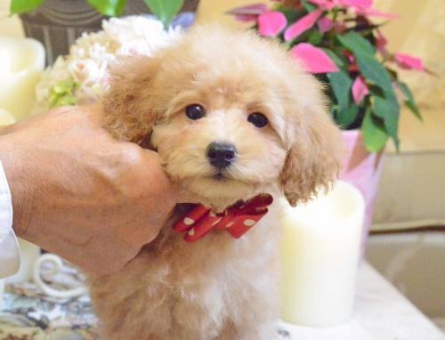 トイプードルの子犬(ID:1234911142)の5枚目の写真/更新日:2017-05-30