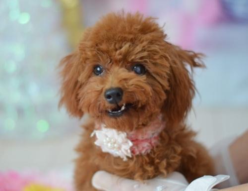 トイプードルの子犬(ID:1234911143)の1枚目の写真/更新日:2017-05-30