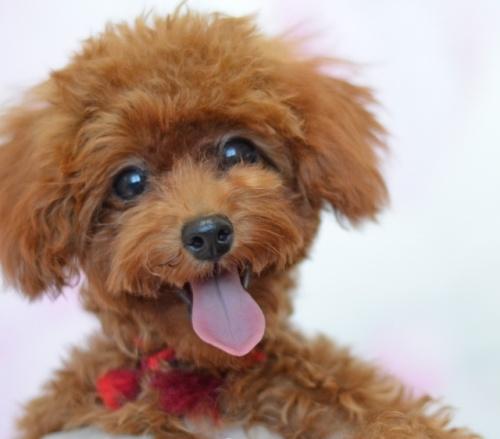 トイプードルの子犬(ID:1234911143)の2枚目の写真/更新日:2017-05-30