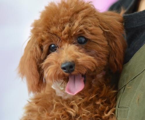 トイプードルの子犬(ID:1234911143)の3枚目の写真/更新日:2021-06-18