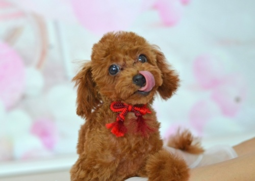 トイプードルの子犬(ID:1234911143)の4枚目の写真/更新日:2017-05-30