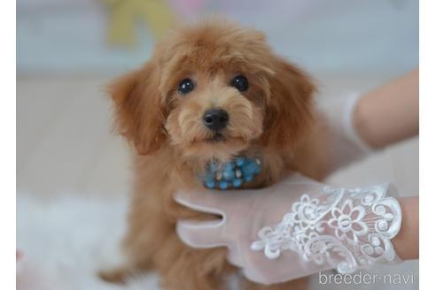 トイプードルの子犬(ID:1234911144)の1枚目の写真/更新日:2021-07-31