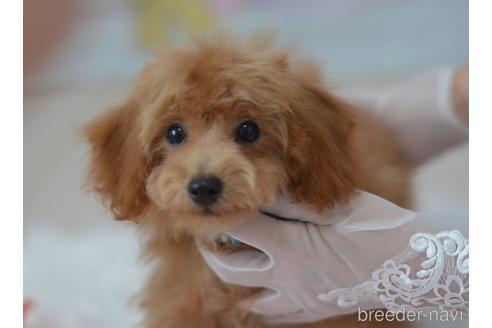 トイプードルの子犬(ID:1234911144)の2枚目の写真/更新日:2021-07-31