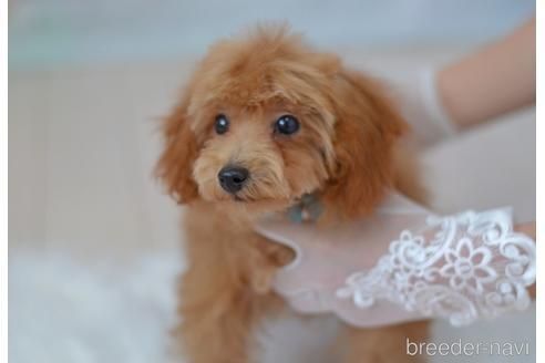 トイプードルの子犬(ID:1234911144)の3枚目の写真/更新日:2021-07-31
